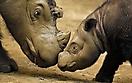 Суматранские носороги_1