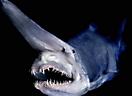 Акула гоблин_1